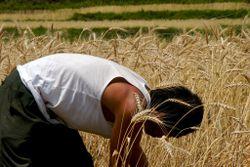 Mancuttingwheat